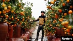 "A farmer waters kumquat trees for sale ahead of the Vietnamese ""Tet"" (Lunar New Year festival), in a field in Hanoi, Vietnam"