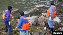 工作人員在打撈黃浦江上的死豬