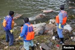 工人在黄浦江支流打捞死猪