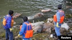 清理人員3月10日在上海黃浦江的一個支流上打撈死豬