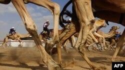 Une course de chameaux à Abu Dhabi, Émirats arabes unis, en février 2016.