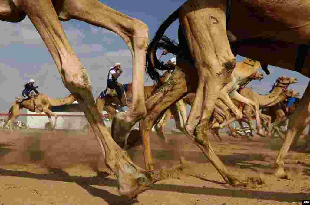 Một cuộc đua lạc đà trong lễ hội Sheikh Sultan Bin Zayed al-Nahyan, được tổ chức tại trường đua ngựa Shweihan ở Al-Ain, ở ngoại ô thành phố Abu Dhabi, UAE.