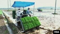大米種植田地