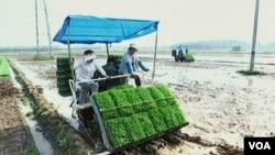 Rižino polje: Kontaminirano zemljište ili kontaminacija nakon berbe