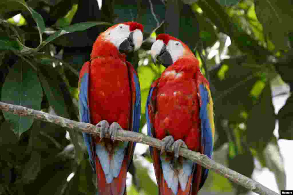 Parrots are seen in a bird-cage at the Paris Zoological Park in the Bois de Vincennes in the east of Paris, France.