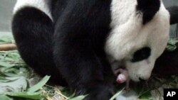 "In this photo released by the Taipei Zoo, a female giant panda named ""Yuan Yuan"" is seen giving birth to a female cub at the Taipei Zoo, in Taiwan, July 6, 2013."
