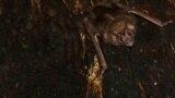 Un vampiro posado dentro de un árbol en Tole, Panamá, en esta foto tomada en 2018 y publicada el 23 de septiembre de 2021.