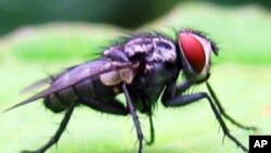 افغانستان : مکھی کے کاٹنے سے ایک کروڑ30 لاکھ افراد کی بیماری کا خطرہ