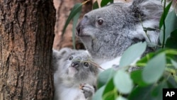 A young koala bear sits next to its mother between eucalyptus leaves in a zoo in Duisburg, Germany, Sept. 2018. (AP Photo/Martin Meissner)