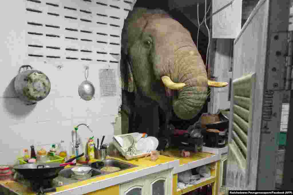 An elephant search for food in the kitchen of Radchadawan Peungprasopporn's home in Pa La-U, Hua Hin, Thailand.