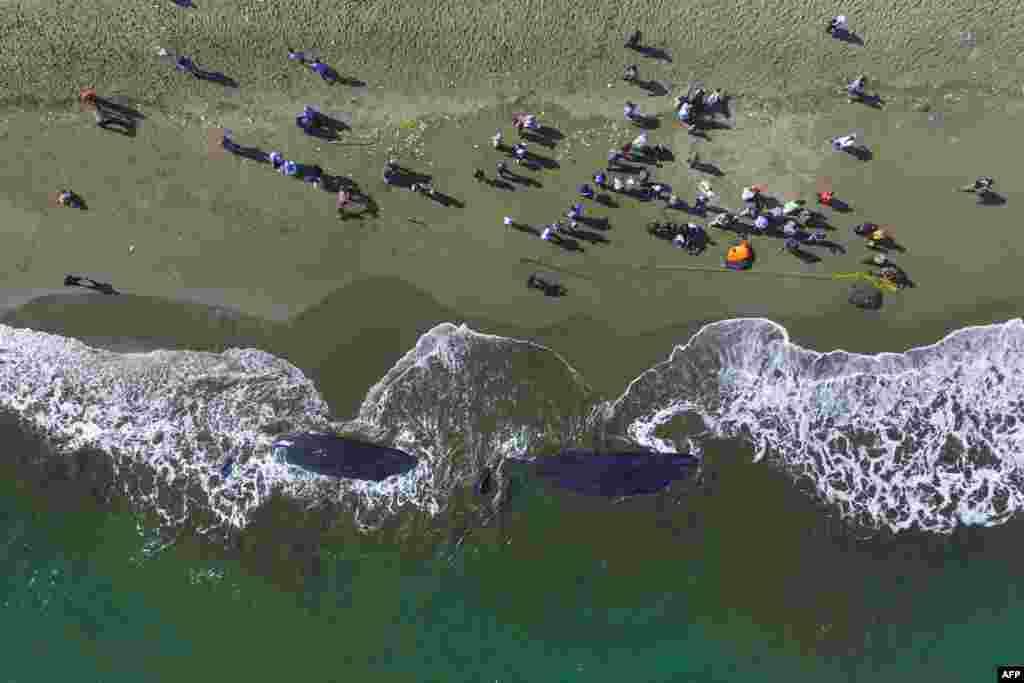 인도네시아 아체베사르 해안에 향유고래 두 마리의 사체가 밀려왔다.