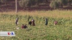 Jinên Efrînî bi Çandinî Dabara Xwe Dikin