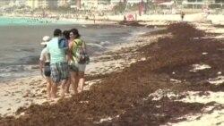 Algas marinas oscurecen las playas blancas de México