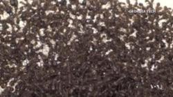 Hormigas adelantadas