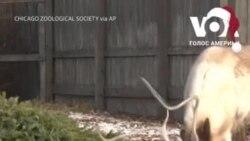 Тваринам в зоопарку у передмісті Чикаго віддали Різдвяні ялинки. Відео