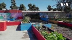 Свіжі овочі для всіх бажаючих із громадських городів Лос-Анджелеса. Відео