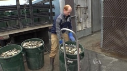Recycling Oyster Shells Improves Water Quality, Oyster Population