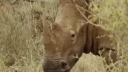 Chifres de rinocerontes valem mais do que ouro