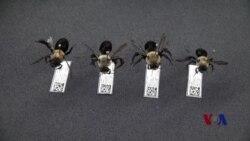 美国科学家研究用野蜂拯救农作物