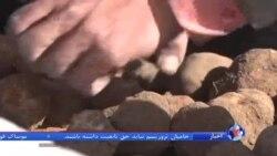"""تجارت """"قارچ دنبلان"""" در کوهپایه های سنجار توسط جوانان ایزدی"""