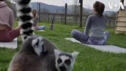 Faites du yoga avec des lémuriens