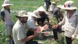 Nông dân trồng dưa lại mắc bẫy Trung Quốc