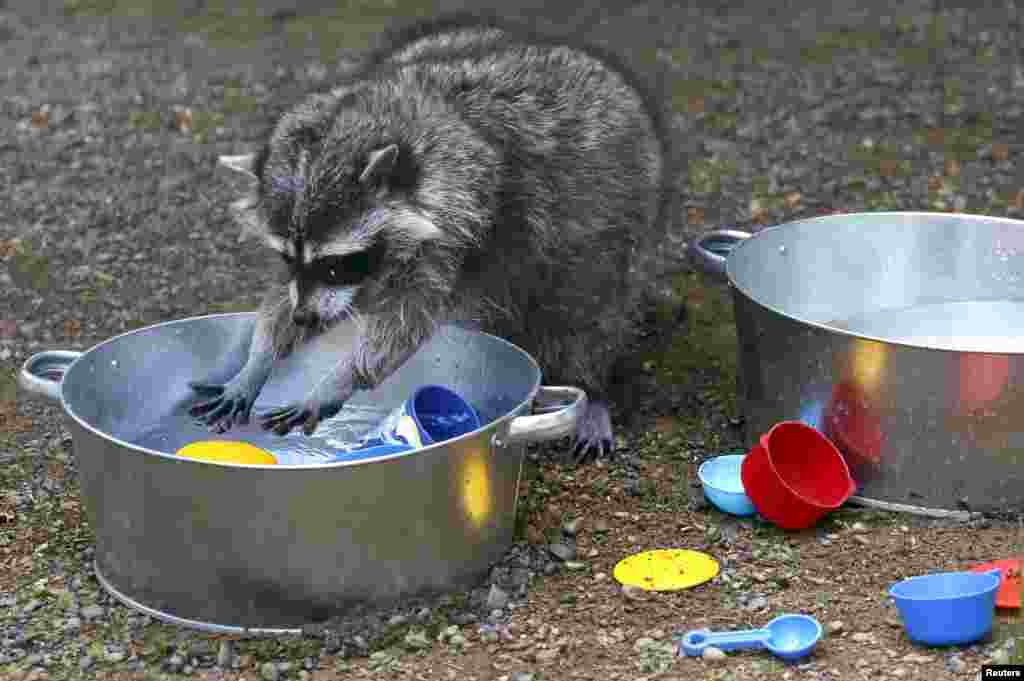 Masha, a female raccoon, plays with plastic dishes inside an enclosure at the Royev Ruchey zoo in Krasnoyarsk, Russia.