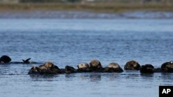 FILE - Sea otters are seen together along the Elkhorn Slough in Moss Landing, Calif., March 26, 2018. Along 300 miles of California coastline, southern sea otters under state and federal protection as a threatened species have rebounded from as few as 50 survivors in the 1930s to more than 3,000 today.
