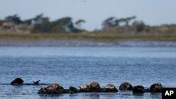 ARCHIVO - Nutrias marinas en Moss Landing, California, 26 de marzo de 2018. A lo largo de 500 kilómetros de la costa de California, las nutrias marinas (bajo protección estatal y federal como especie amenazada) se han recuperado de tan solo 50 sobrevivientes en la década de 1930 a más de 3.000 en la actualidad. (AP Photo / Eric Risberg)