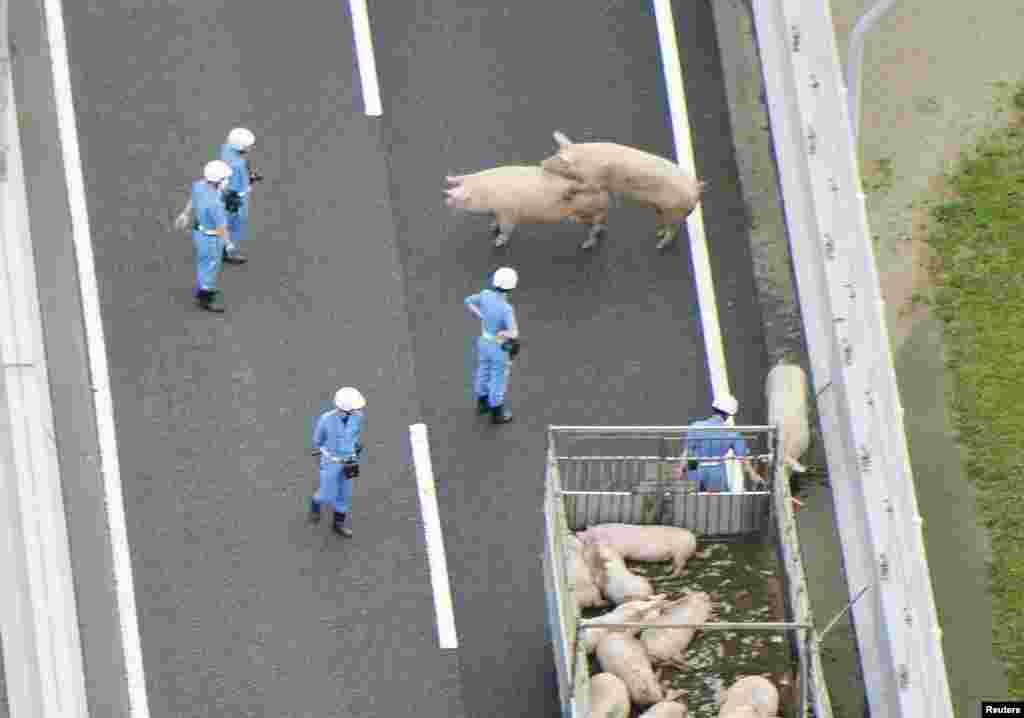Para polisi berusaha menangkap 19 ekor babi yang lepas dari sebuah truk yang bertabrakan di sebuah jalan raya di Ikeda, Osaka, Jepang.