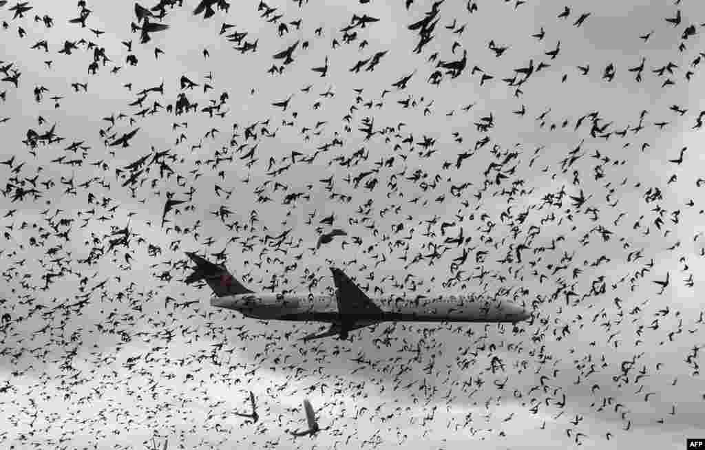 A flock of birds flies as a Delta airlines commuter plane lands at Reagan International Airport in Washington, D.C., Nov. 18, 2015.