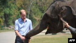 Britain's Prince William feeds a baby elephant in the wild elephant valley in Xishuangbanna, or Sibsongbanna Dai autonomous prefecture, southwest China's Yunnan province, March 4, 2015.