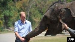 2015年3月4日英国威廉王子在中国西南部西双版纳野象谷喂一只小象