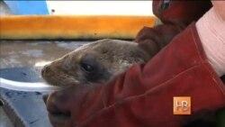Как спасают детенышей морских львов в Калифорнии