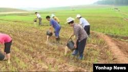 지난해 6월 조선중앙통신이 평양시 강남군 당곡협동농장의 가뭄 대응 노력을 영상으로 내보냈다. 물 부족으로 경작지가 갈라진 것이 눈에 띈다. (자료사진)