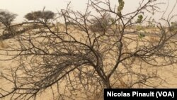 Dry plants in the Sahel, Niger, on April 16, 2017 (VOA/Nicolas Pinault)