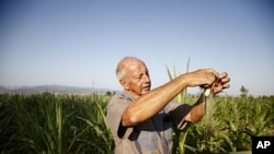 South African farmer Piet Kemp inspecting baby corn in Sartichala, Georgia, July 28, 2011.