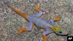 A psychedelic gecko [Cnemaspis psychedelica] is seen on this undated handout released World Wildlife Fund, December 12, 2011.