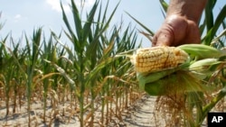 FILE - A farmer holds a piece of his drought- and heat-stricken corn while chopping it down for feed in Nashville, Illinois, July 11, 2012. a A 2015 White House report predicts that a 3 degree Celsius rise in average temperature could erode the U.S. GDP to the tune of more than $150 billion.