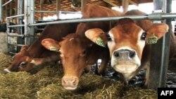 Счастливы ли коровы в штате Айова?