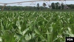 미국은 지금: 가축 분뇨로 고급 비료 생산