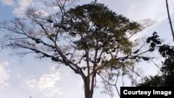 Pohon Sialang di Riau tempat lebah dorsata dengan 30-60 sarang (foto: courtesy).
