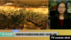 VOA连线:华盛顿州警方突击搜查非法种植大麻场所,54名中国人被捕