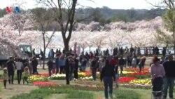 وەرزی گوڵە گێلاسی ژاپـۆنی لە واشنتن - Cheery Blossom