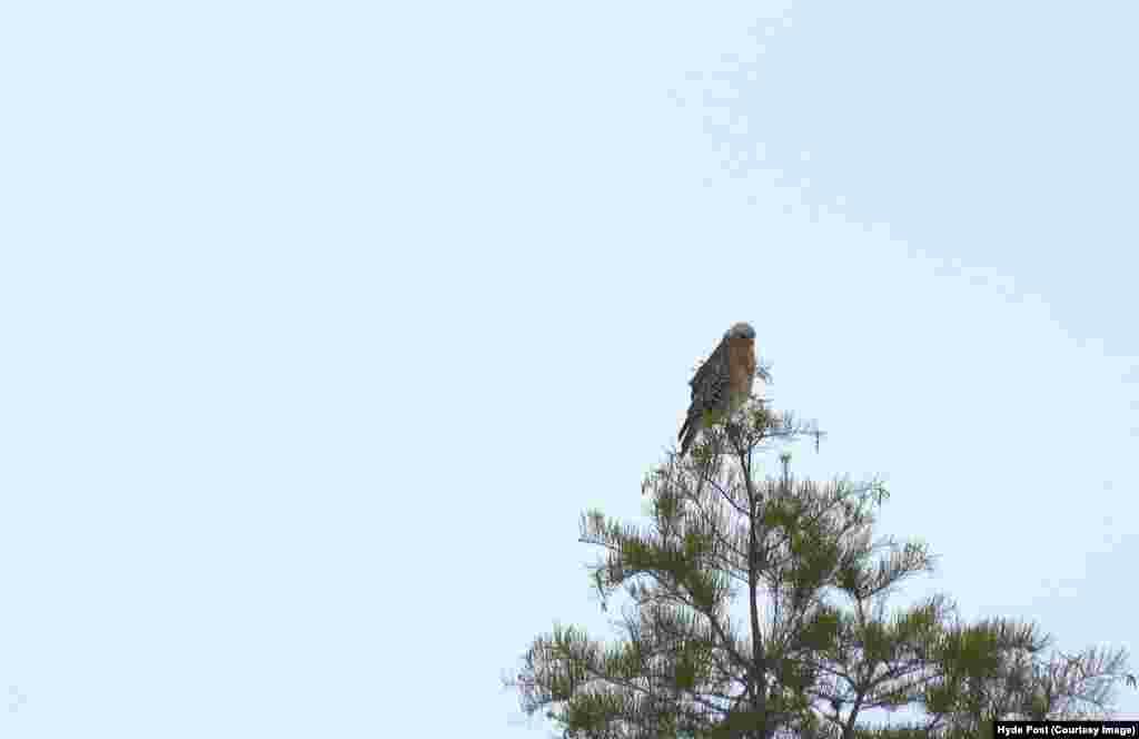 باز شانه سرخ، پرنده شکاری اصلی مرداب اوکیفینوکی