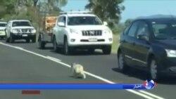 وقتی پلیس استرالیا خیابان را برای خرس کوآلا بند می آورد