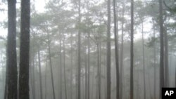 Cloud forests in the mountains of Vietnam's Bidoup Nui Ba National Park contain conifer species, including Po Mu (Fokiena hodginsii), that can live for a thousand years or more