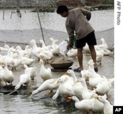 Ducks have also been victims of bird flu