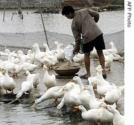 Ducks have also been victims of bird flu
