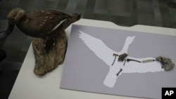 "A recently discovered fossil of the ""Vegavis Iaai"" bird that lived in Antarctica's Vega Island more than 70 million years ago is placed on silhouette and a model of the bird, on a desk before a conference in Buenos Aires, Argentina, Oct. 12, 2016."